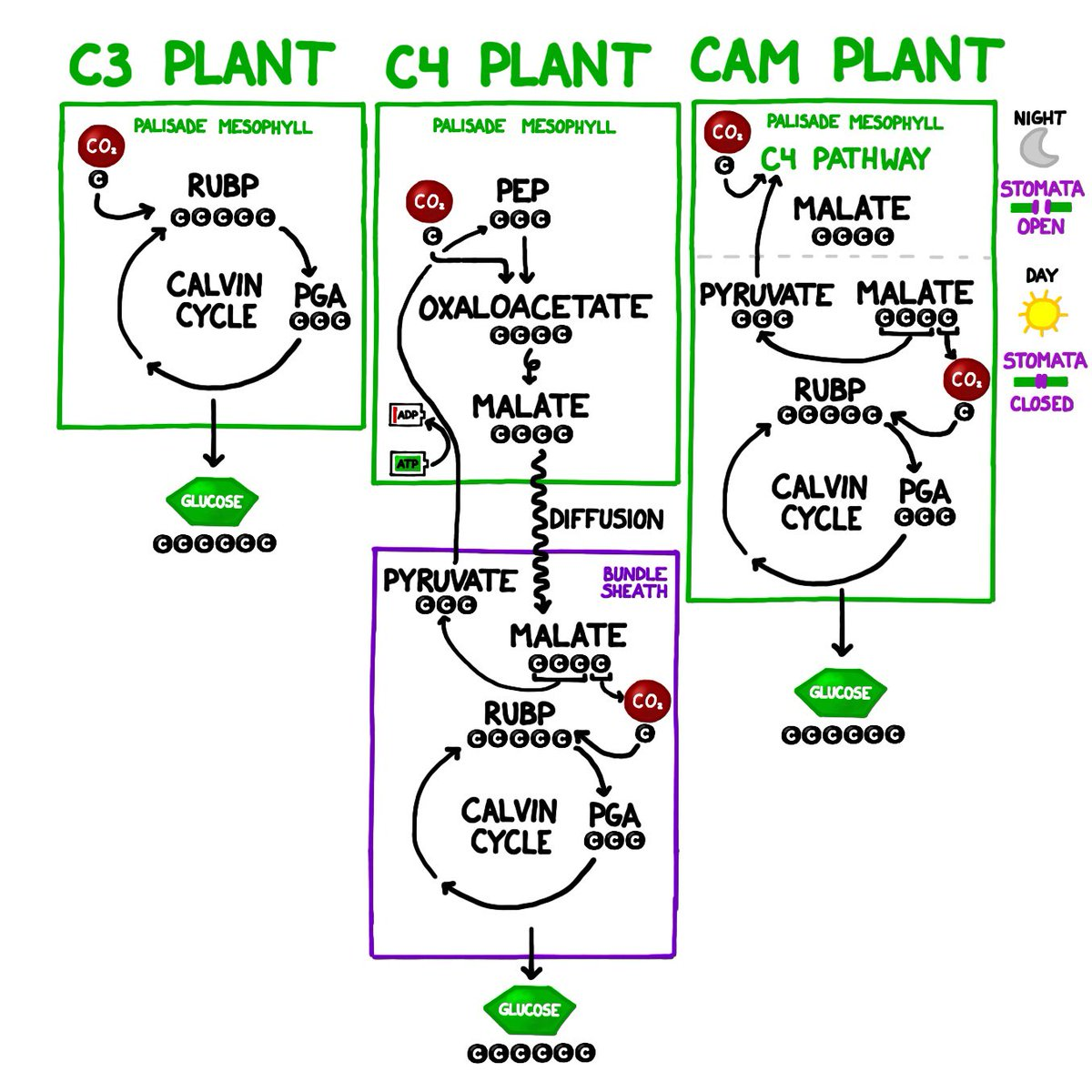 c3 and c4 plants examples pdf